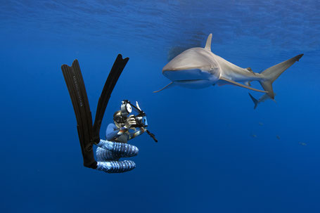 Galapagos Shark Diving - Diver in an close encounter with a silky shark while diving in the Galapagos