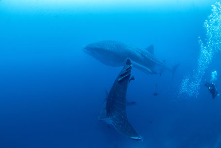 Galapagos Shark Diving - Two Whale Sharks and Diver