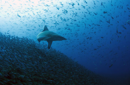 Galapagos Shark Diving - Blacktip shark surrounded by a big school of creole fish in the Galapagos Islands