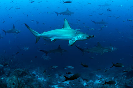 Galapagos Shark Diving - school of hammerhead sharks swimming by