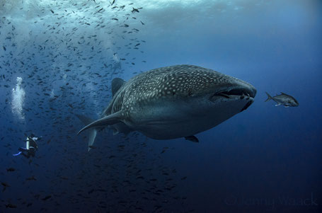 Galapagos Shark Diving - Whale Shark and diver in a very close encounter