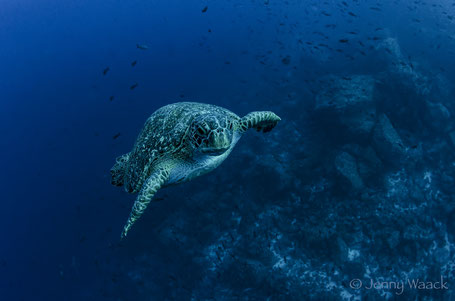 Galapagos Shark Diving - Green Sea Turtle diving curious with a diver