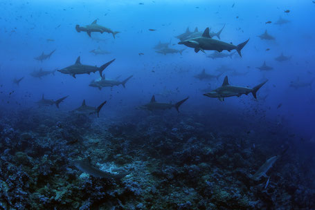 Galapagos Shark Diving - Big school of hammerhead sharks at Darwin Arch