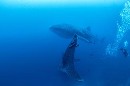 Galapagos Shark Diving - Taucher mit zwei Walhaien Galapagos Inseln