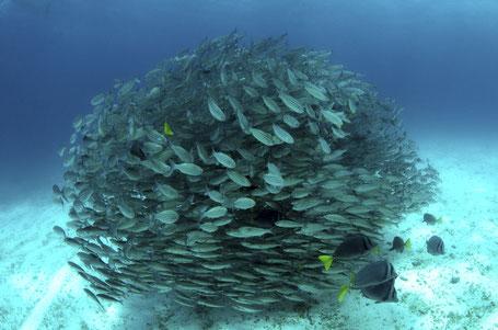Galapagos Shark Diving - big school of fish in the Galapagos Islands