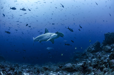 Galapagos Shark Diving - Hammerhead shark in the Galapagos Islands