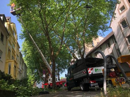 Baumpflege mit Hubsteiger Baumfällung Lichtraumprofil über Straßen