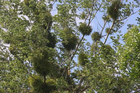 Misteln an Wirtsbäumen ©