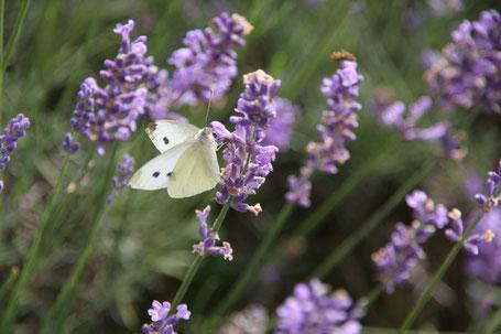 Lavendel ©
