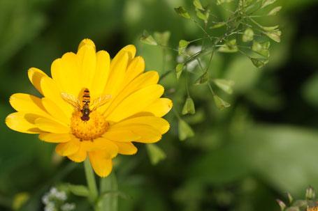 Ringelblume und Hirtentäschel ©