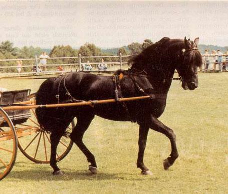Lippitts waren wunderbare Kutschpferde