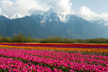 Cultivated Tulip Field Fraser Valley British Columbia