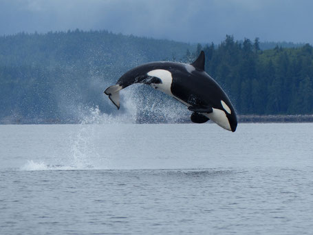 Orca breaching off the coast of Campbell River, Vancouver Island