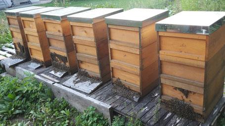 Bienenbärte
