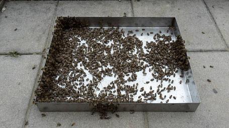 Abgefegte Bienen von 2 drohnenbrütigen Völkern
