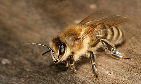 Die Kärntner Biene (Apis mellifera carnica).