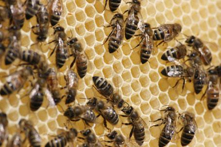 Ausgezogene Zellen auf Honigwabe.