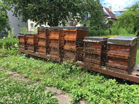 Ein Bienenschwarm zieht aus