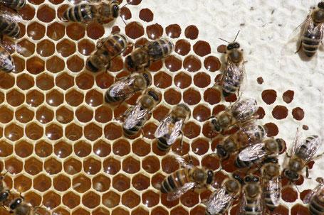 Honigzellen kurz vor der Verdeckelung.