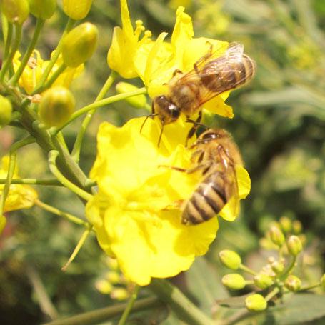 Zur Ertragssteigerung sind Raps anbauende Betriebe an einer guten Besatzdichte bestäubender Bienenvölker interessiert.