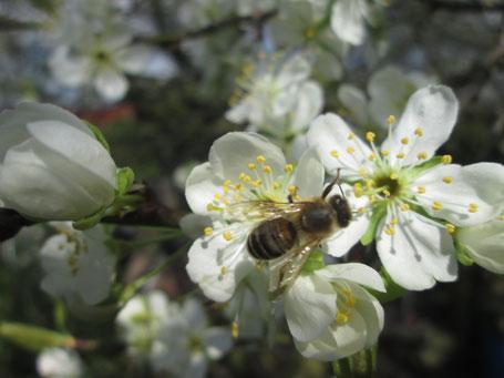Honigbiene auf Blüten der gelben Pflaume (gehört zur prunus domestica) in unserem Garten