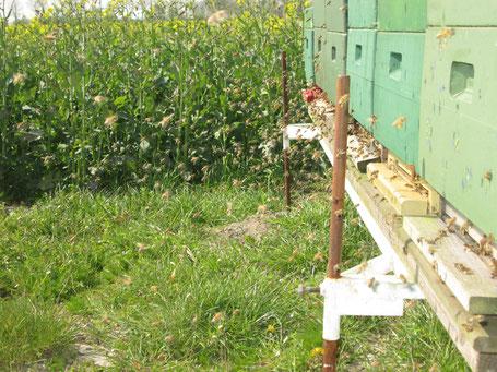 Reges Geschwirre  am Bienenstand: Die Bienen stürzen sich auf den Raps.