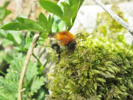 Eine Acker-Hummel-Königin (bombus pascuorum) raspelt Moos für ihr Nest. (Aufgenommen am 31.3.19)