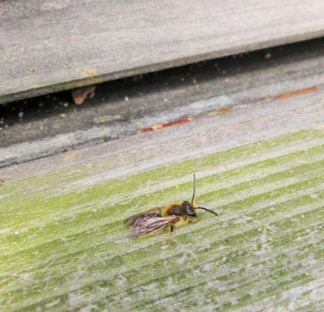 Sandbiene (Andrena barbilabris) auf dem Flubbrett eine Bienenstocks. (Aufgenommen am 31.3.19)