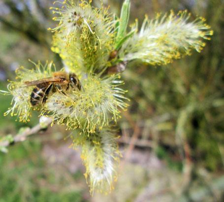 Honigbiene (apis mellifera) auf Weide (Salix) am 31.3.19