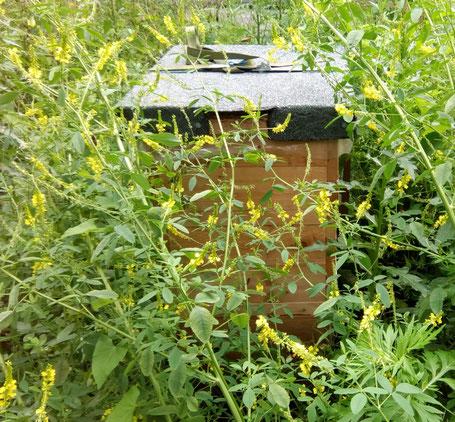Ein Bienenvolk unserer Schulimkerei versinkt regelrecht im etwa 1,5 m hohen Steinklee (Acker-Honigklee, mililotus officinalis).