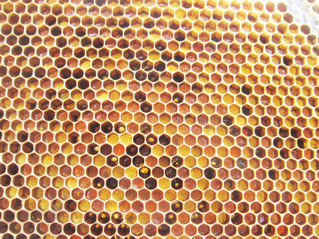 """""""Pollenbrett"""": In diese Zellen wurde inzwischen auch viel Rapspollen eingetragen (gelb). Aus pollenreichen Trachten, wie dem Raps, können solche Waben für die Ablegerbildung entnommen werden. Pollen bildet die Grundlage der eiweißreichen Brutnahrung."""