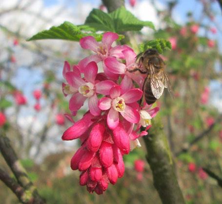 Honigbiene (apis mellifera) auf Zier- oder Blut-Johannisbeere (Ribes sanguineum) am 31.3.19