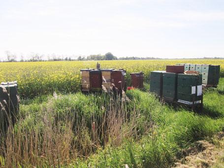 Bienenstand im Raps: Reichhaltiges Pollenangebot, schnelle Volksentwicklung - Auch die Jungvölker aus dem Vorjahr müssen zeitig erweitert werden!