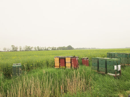 verblühendes Rapsfeld am 20.5.19 bei Emden: In Trachtlücken steigt die Schwarmgefahr bei Bienenüberschuss auf satten Honigvorräten. Das weckt den Teilungstrieb.