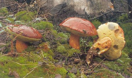 Cueillette des champignons - Cueillette des champignons en photos - Période de cueillette des champignons