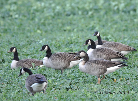 Greylag - x - Canada Goose