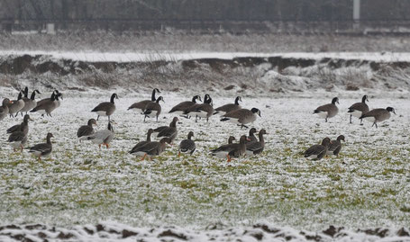 Greylags, Canada, Bar-headed and Greater White-fronted Geese