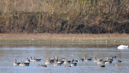 Greylags and three Gadwalls