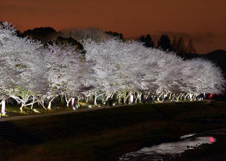 亀岡運動公園の夜桜