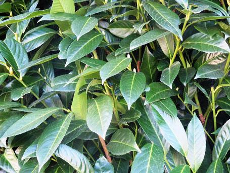 Laurier cerise, Prunus laurocerasus