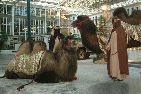 Kamele mieten für allerlei Events