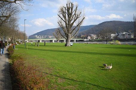 Die Neckarwiese in Heidelberg ist aktuell gesperrt