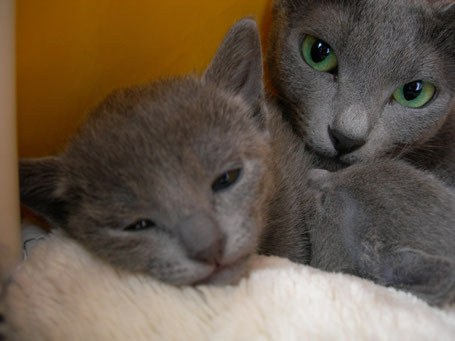 Pumpkin TiKa Grey Silk и котенок