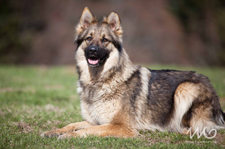 Berger allemand ancien type sable