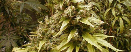 weibliche Cannabis Hanfpflanze ca. 2 Wochen vor Ernte