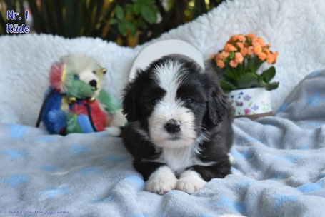 Bearded Collie Welpr