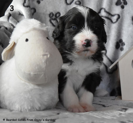 Bearded Collie Welpe
