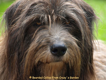 Lefko, Bearded Collie Mix