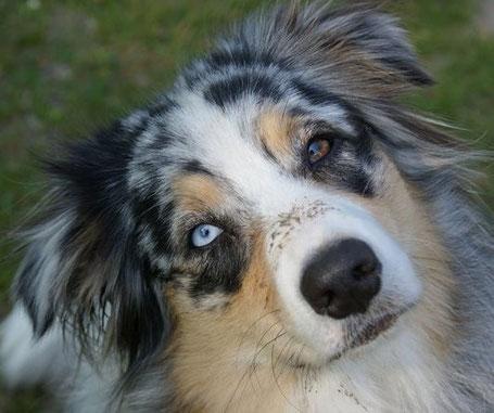 Australian Shepherd Hundeschule Seeland Biel