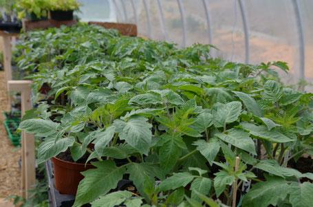 Jungpflanzen, Tomaten, Paradeiser, biologisch, nachhaltig, regional
